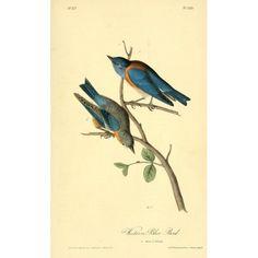Birds of America 1844 Western Blue Bird Canvas Art - JJ Audubon (24 x 36)