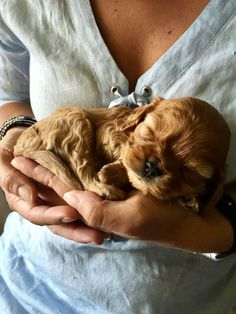 Omgggg so cute Perro Cocker Spaniel, American Cocker Spaniel, English Cocker Spaniel, Cute Puppies, Cute Dogs, Dogs And Puppies, Doggies, Corgi Puppies, Cavalier King Charles