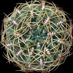 Gymnocalycium monvillei seeds