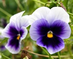 Beautiful & Delicious Pansy Flower Recipes