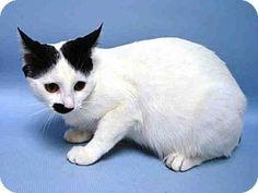 Brooklyn, NY - Domestic Shorthair. Meet SNOWFLAKE, a cat for adoption. http://www.adoptapet.com/pet/13583936-brooklyn-new-york-cat