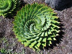 spiral aloe! (Aloe polyphylla) Just lovely.
