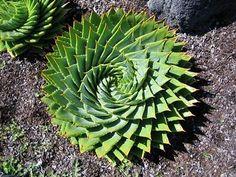 Arizona succulent