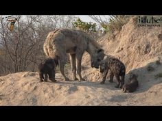Safari Sightings from Africa JOIN US on Safari Sightings and share your Wildlife Sightings from your African Safari. Think 'Africa' and one of the first Hyena, African Safari, Cubs, The Dreamers, Traveling By Yourself, Camel, Wildlife, Horses, Photos