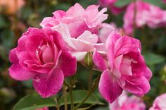 Brilliant Pink Iceberg™ Shrub Rose - Monrovia - Brilliant Pink Iceberg™ Shrub Rose