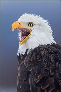 Love seeing them flying all around Sandusky/Catawba Island!! Amazing creatures