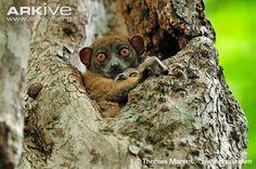 Female Ankarana sportive lemur with young -endangered Wild Nature, Lemur, Primates, Africa, Birds, Female, Monkeys, Animals, Inspiration