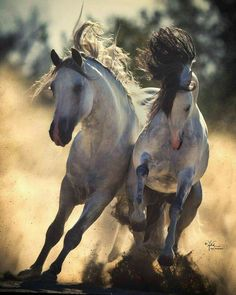 Wild horses running, Poetry in motion. Desert sand kicking up, running neck to neck, almost looks like they are fighting and going to knock each other out. photo by April Visel Pretty Horses, Horse Love, Beautiful Horses, Animals Beautiful, Horse Photos, Horse Pictures, Zebras, Wild Horses Running, Animals And Pets