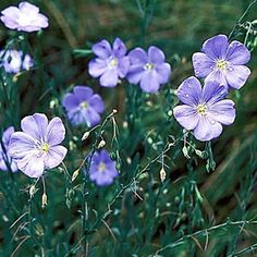 Blue Flax Wild Flower Heirloom Seeds