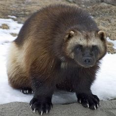 Weird and Ugly animals on Planet. Cute Animal Names, Cute Animal Tattoos, Cute Animal Pictures, Ugly Animals, Rare Animals, Cute Baby Animals, Wolverine Images, Wolverine Animal, Wolverine Art