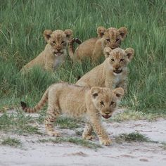 "Four gorgeous cubs spotted on Sanctuary Stanley's Camp's private concession in the Okavango Delta Botswana    @wanderw.oman  ""1 2 3 4 adorable babies messing around while mama wasnt looking @sanctuaryretreats"""