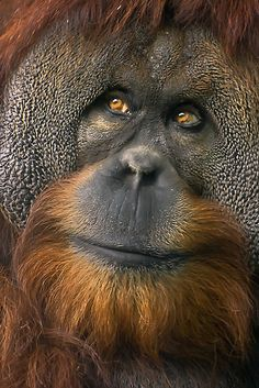 Orangutan - just look at the intelligence in those eyes.