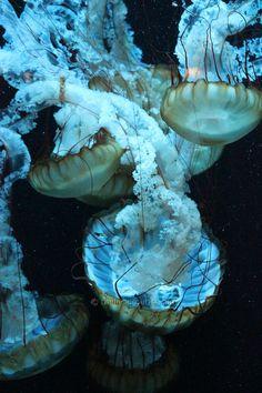 Shedd Aquarium by The Local Tourist, via Flickr Shedd Aquarium, Underwater World, Jellyfish, Under The Sea, The Locals, Ocean, Earth, Fantasy, Colors