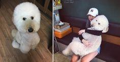 Riesen-Puddel: Dieser Hund ist ein großes Baby! #News #Unterhaltung
