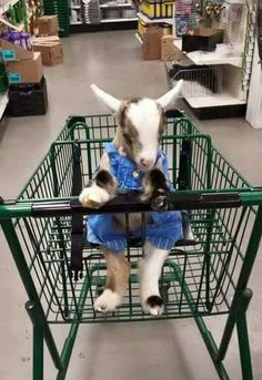 Baby goat in a grocery cart how cool
