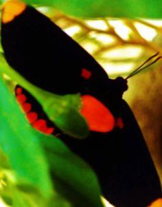 """La mariposa, con manchas naranja y bermellón en las alas, ronda la planta de chile piquín, conocido como """"max"""" en Yucatán."""