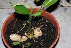 Τζίντζερ: Πώς να το καλλιεργήσετε στο σπίτι σας! Agriculture, Gardening Tips, Diy And Crafts, Succulents, Home And Garden, Herbs, Health, Green, Nature