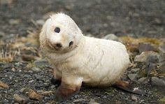 A baby white seal sitting on a rocky beach.
