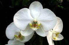 orquideas phalaenopsis exoticas - Pesquisa Google