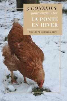 #ponte #poules #pondeuses #hiver #conseils #astuces