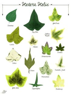Hedera Helix, Ivy Plant Indoor, Leaf Identification, Witchy Garden, Forest Plants, Decoration Plante, Ivy Plants, Interior Plants, Plant Illustration