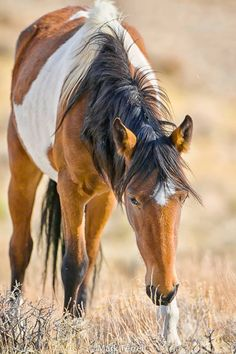 Wild Mustang. this is my favorite pattern on a horse!! love paints!!