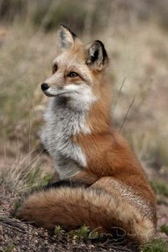 Red fox watching as another red fox approaches ~ Colorado