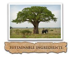 100% Pure Madagascar Tamanu Oil,  known as a pharmacy in a bottle.  100% Pure,  Certified Organic and wildlife friendly.  #sheaterraorganics #100organicsnpure #organicsoilsheaterra