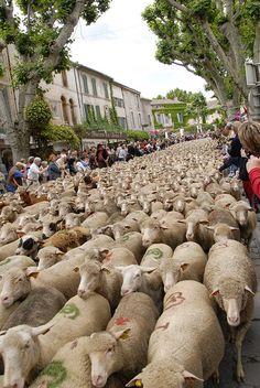 Sheep Parade  St.-Rémy-de-Provence, Provence-Alpes-Côte d'Azur, France  Plenty Here!   http://www.pinterest.com/adisavoiaditrev/