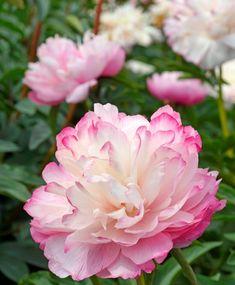 Flowers Name List, Flower Names, Bulb Flowers, Blossom Flower, Garden Planning, Peony, Tulips, Roots, Joker