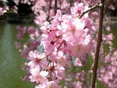 brooklyn botanic garden: especially during cherry blossom season.