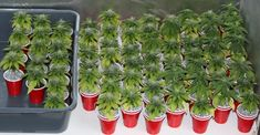 Stunted's crazy cannabis micro grow project