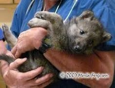 Image result for holding a wolf pup Cute Tiger Cubs, Cute Tigers, Wolf Pup, Cute Baby Animals, Cute Babies, Image, Funny Babies, Wolf Puppies, Teen Wolf