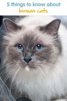 5 Things To Know About Birman Cats