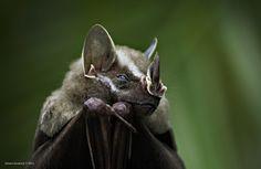 interestingly striped and leaf-nosed bat imitating Mister Burns Zoo Animals, Animals And Pets, Cute Animals, Wild Animals, All About Bats, Bat Photos, All Bat, Bat Species, Bat Animal