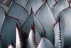 agave sebastiana - Google Search