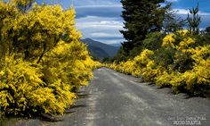 aromos by - PepeGrafia -, via Flickr