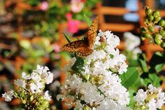 Butterfly on the White Crape Myrtle