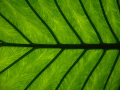 Giant leaf in Lanzarote (Islas Canarias)