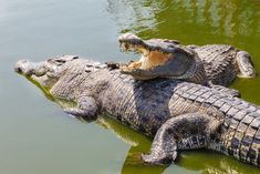 Crocodile information