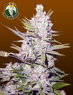 Haze Xtreme – Regular Seeds
