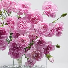 """Showgirl"" lavender mini carnation"