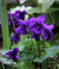 Violets....I love violets..they grew wild around where I grew up, so on the way home from school I would pick a tiny bouquet for my mama...she loved them!.•♥.•♡•.♥•.