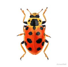Orange Beetle Art Print by dcrownfield Red Beetle, Beetle Bug, Beetle Insect, Insect Art, Cool Bugs, A Bug's Life, Beautiful Bugs, Bugs And Insects, Equine Photography