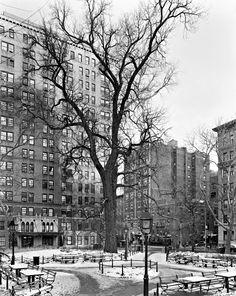 Mitch Epstein: English Elm, Washington Square Park, New York 2012