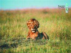 León peluca