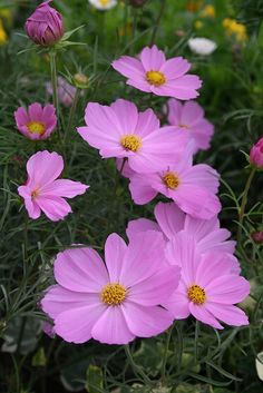 Pink Cosmos - Far Out Cosmic Pink by Live Mulch #cosmos #pink cosmos