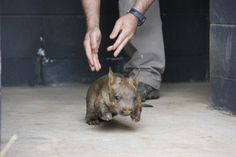 Taronga Zoo's first Southern Hairy-Nosed Wombat joey (!!!!!!!!) in three years!