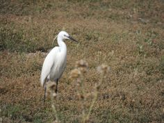 little egret (isle of Ré)