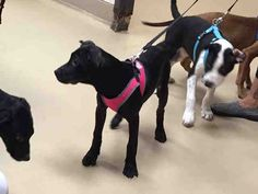 7/24/2016 SUPER URGENT PUPPY ALERT - TO BE DESTROYED - ADOPT Onyx - ID#A454083 - Harris County Animal Shelter in Houston, Texas - only 5 months old, spayed, female, Black Mouth Cur mix - at the shelter since Mar 04, 2016. Harris County Public Health and Environmental Services at (281) 999-3191. ID number A454083